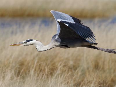Grey Heron, in Flight, Etosha National Park, Namibia, Africa-Ann & Steve Toon-Photographic Print