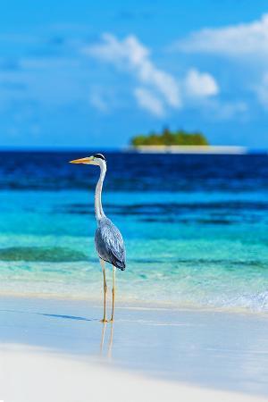 grey-heron-on-maldives-beach