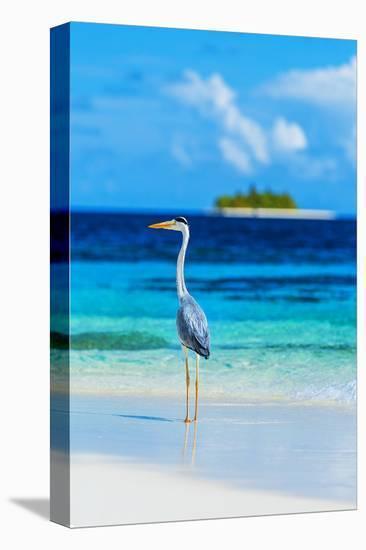 Grey Heron on Maldives Beach--Stretched Canvas Print