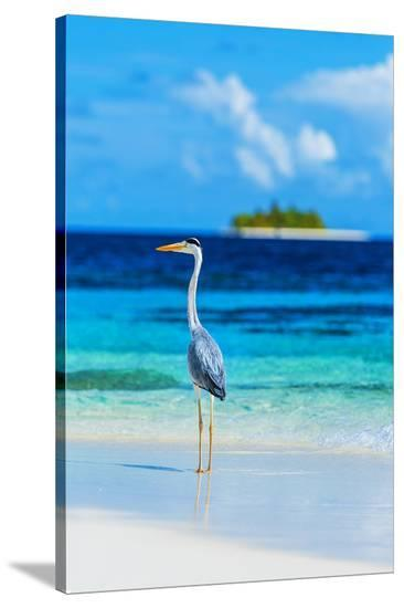 Grey Heron on Maldives Beach--Stretched Canvas Print
