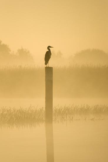 Grey Heron on Post in Misty Dawn--Photographic Print