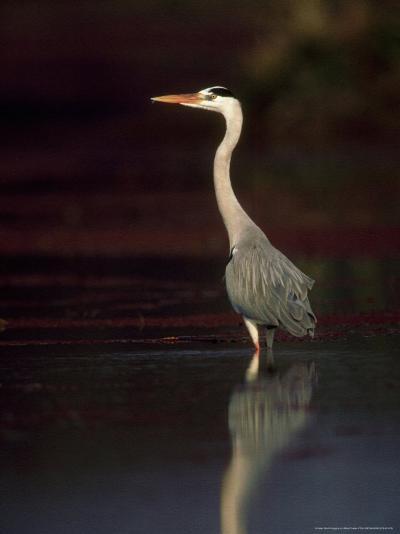 Grey Heron, Wading, India-Mike Powles-Photographic Print