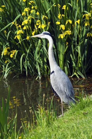 Grey Heron-Georgette Douwma-Photographic Print