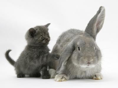 Grey Kitten with Grey Windmill-Eared Rabbit-Mark Taylor-Photographic Print
