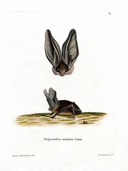 Grey Long-Eared Bat--Giclee Print