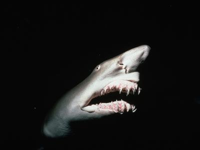 Grey Nurse Shark with Open Mouth-Jeffrey L^ Rotman-Photographic Print