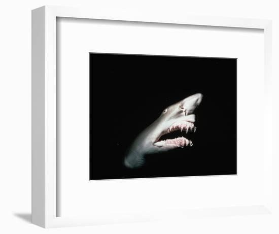 Grey Nurse Shark with Open Mouth-Jeffrey L. Rotman-Framed Photographic Print