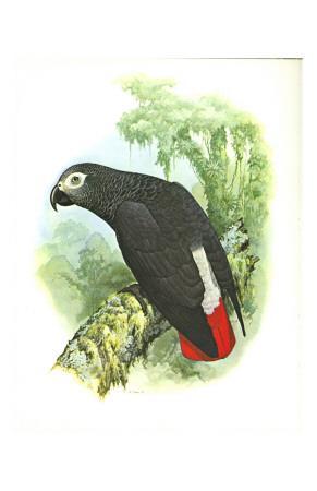 Grey Parrot no. 276--Art Print
