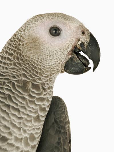 Grey Parrot-Martin Harvey-Photographic Print