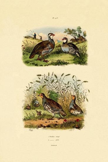 Grey Partridge, 1833-39--Giclee Print
