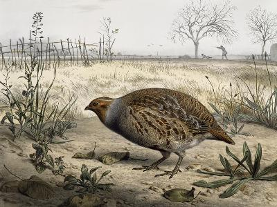 Grey Partridge, Coloured by Edouard Travies (Born in 1806), France, 19th Century--Giclee Print