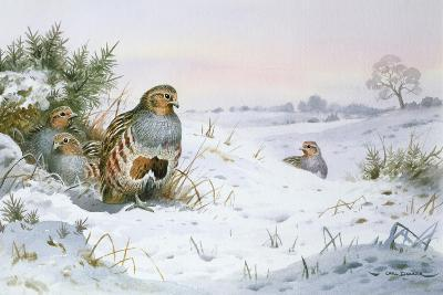 Grey Partridge-Carl Donner-Giclee Print