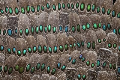 Grey Peacock Tail Feathers-Darrell Gulin-Photographic Print