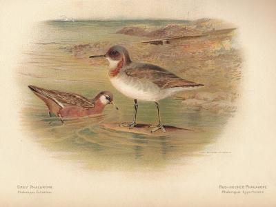 Grey Phalarope (Phalaropus fulicarius), Red-Necker Phalarope (Phalaropus hyperboreus), 1900-Charles Whymper-Giclee Print