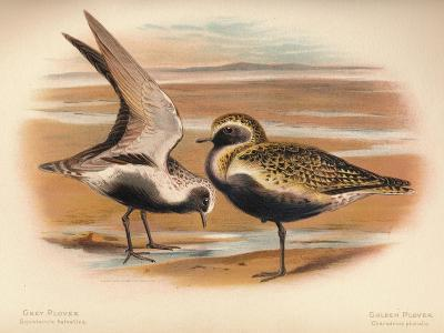 Grey Plover (Squatarola helvetica), Golden Plover (Charadrius pluvialus), 1900, (1900)-Charles Whymper-Giclee Print