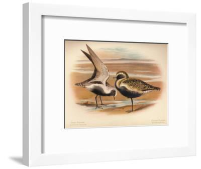 Grey Plover (Squatarola helvetica), Golden Plover (Charadrius pluvialus), 1900, (1900)-Charles Whymper-Framed Giclee Print