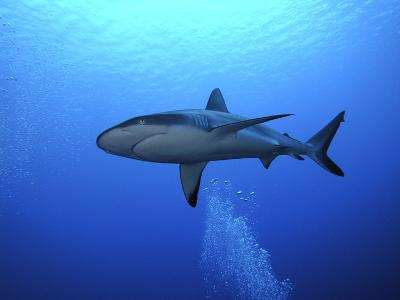 Grey Reef Shark Once Common Through Out the Indo--Photographic Print