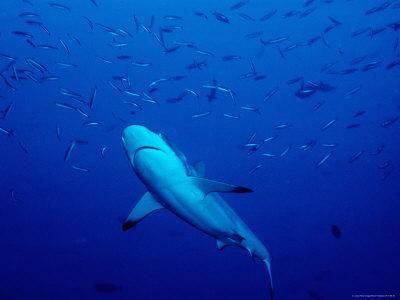 Grey Reef Shark Swimming Amongst Fish, Bangkok Pass, Rabaul Reefs-Robert Halstead-Photographic Print