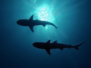 Grey Reef Sharks Grey Reef Sharks