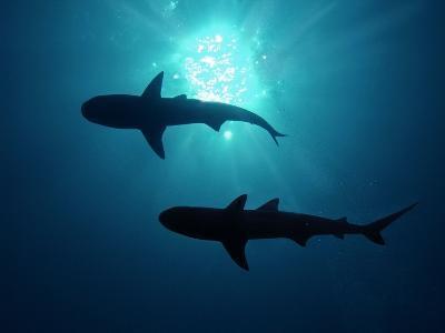 Grey Reef Sharks Grey Reef Sharks--Photographic Print