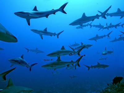 Grey Reef Sharks in the Tumotos, French Polynesia--Photographic Print