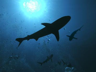 Grey Reef Sharks Swim Through the Divers Bubbles--Photographic Print