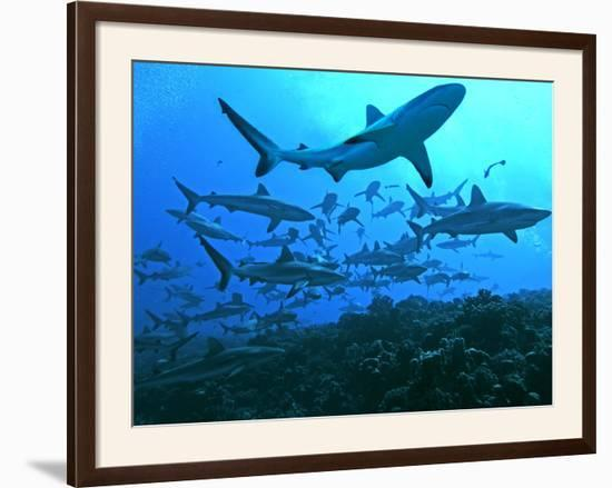Grey Reef Sharks Swimming into the Fakarava Lagoon--Framed Photographic Print