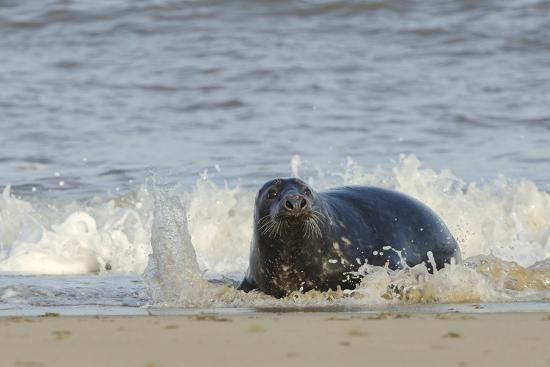 Grey Seal (Halichoerus Grypus) Adult Hauling Ashore Among Breaking Waves-Nick Upton-Photographic Print