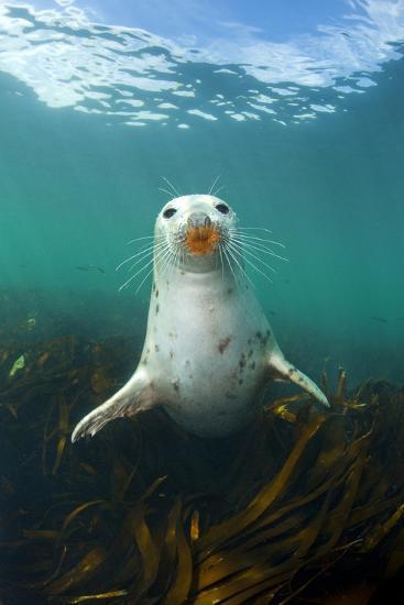 Grey Seal (Halichoerus Grypus) Underwater Amongst Kelp. Farne Islands, Northumberland, England-Alex Mustard-Photographic Print