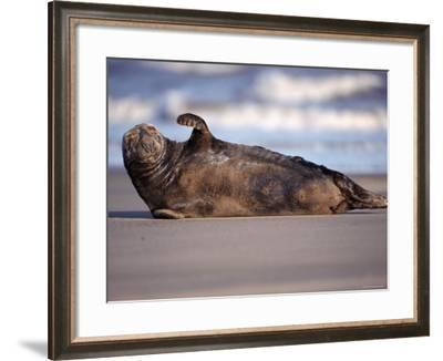 Grey Seal Lying on Beach, UK-Pete Cairns-Framed Photographic Print