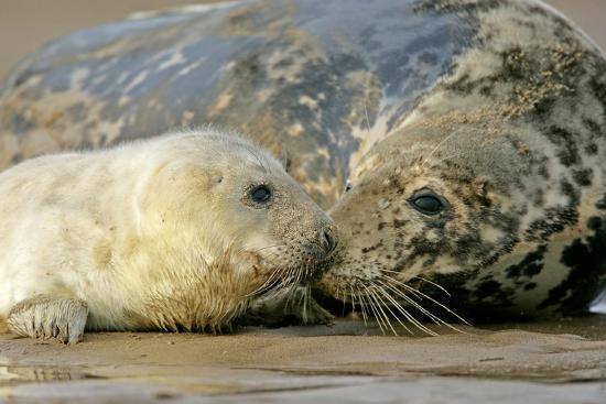 Grey Seal Mother and Newborn Pup Taking Stock--Photographic Print