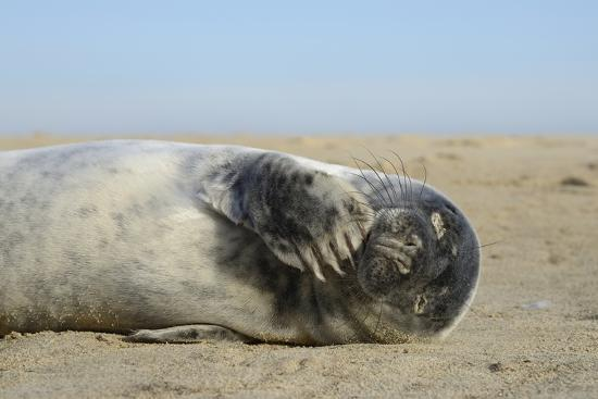 Grey Seal Pup (Halichoerus Grypus) Chewing a Flipper While Lying on a Sandy Beach-Nick Upton-Photographic Print