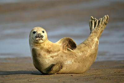 Grey Seal Resting on Beach Stretching it's Body--Photographic Print