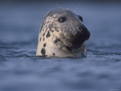 Grey Seal Watching from Water-Niall Benvie-Photographic Print