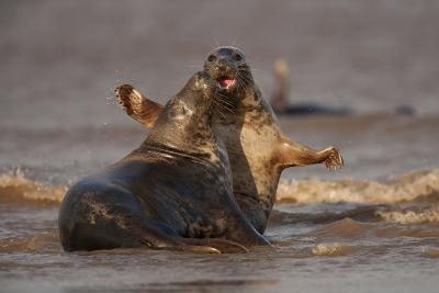 Grey Seals (Halichoerus Grypus) Fighting, Donna Nook, Lincolnshire, England, UK, October-Danny Green-Photographic Print