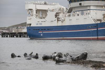 Grey Seals (Halichoerus Grypus) on Haul Out in Fishing Harbour with Ferry in the Background-Peter Cairns-Photographic Print