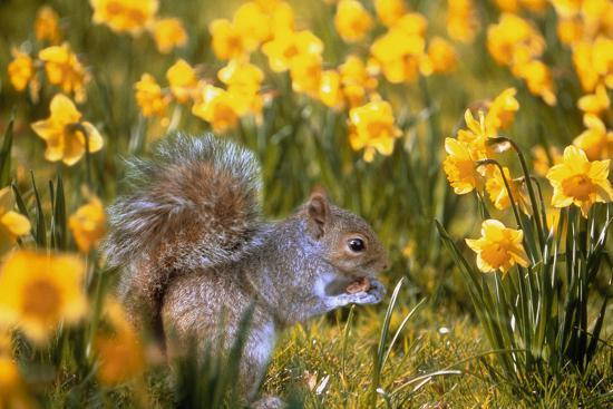 Grey Squirrel Amongst Daffodils Eating a Nut-Geoff Tompkinson-Photographic Print