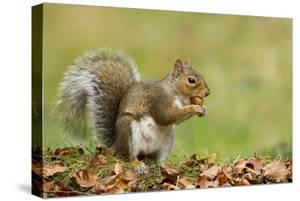 Grey Squirrel Finding Acorn Amongst Autumn Leaves