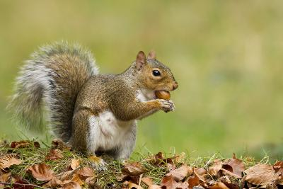 Grey Squirrel Finding Acorn Amongst Autumn Leaves--Photographic Print