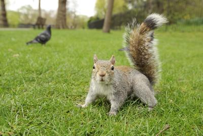 Grey Squirrel (Sciurus Carolinensis) on Grass in Parkland, Regent's Park, London, UK, April 2011-Terry Whittaker-Photographic Print