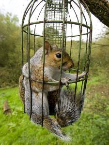 Grey Squirrel Trapped Inside a Squirrel Proof Bird Feeder