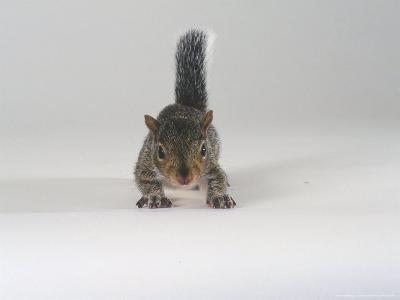 Grey Squirrel-Les Stocker-Photographic Print