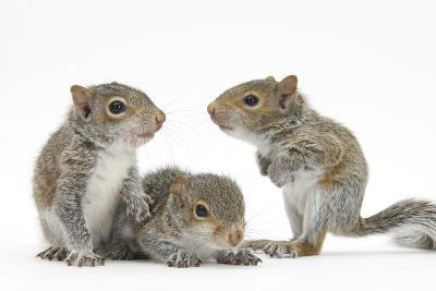 Grey Squirrels (Sciurus Carolinensis) Three Young Hand-Reared Portrait-Mark Taylor-Photographic Print