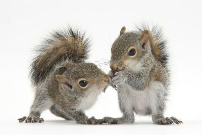 Grey Squirrels (Sciurus Carolinensis) Two Young Hand-Reared Babies Portrait-Mark Taylor-Photographic Print