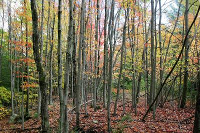 Grey Tree Stand Autumn-Robert Goldwitz-Photographic Print