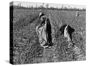 African American Farm Workers Picking Cotton by Grey Villet