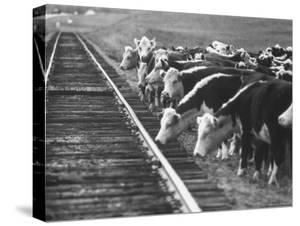 Cattle Round Up For Drive from South Dakota to Nebraska by Grey Villet