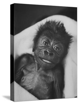 Newborn Gorilla Born in an Ohio Zoo Posing for a Picture