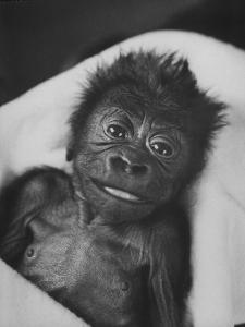 Newborn Gorilla Born in an Ohio Zoo Posing for a Picture by Grey Villet