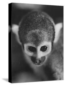 Squirrel Monkey, Baker, Who Made Space Flight in Jupiter Missile, in Lab by Grey Villet